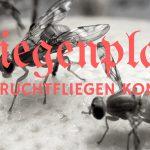 Fliegenplage – Die Fruchtfliegen kommen