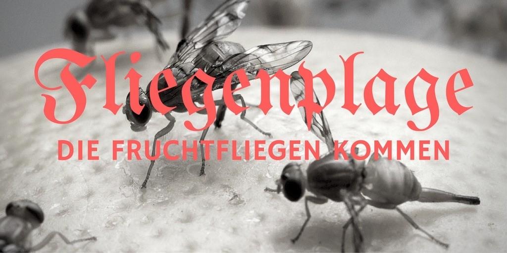 Fliegenplage - Die Fruchtfliegen kommen auf kinderalltag.de